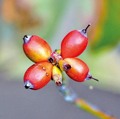 九九重陽日,茱萸紅果熟透,香氣芳烈,古人善用來辟邪惡之氣。(pixabay)
