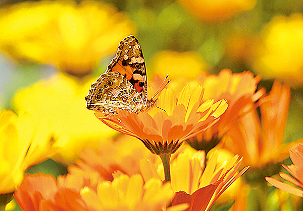 菊花凌陰而發,仙菊遇重陽象徵「菊壽久久」,重陽節賞菊就成了天人合一的樂活風尚。(pixabay)
