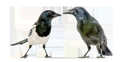 說日本話的喜鵲 說日本話的烏鴉㊦