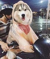 哈士奇穿雨衣露招牌微笑網友直呼太可愛了!
