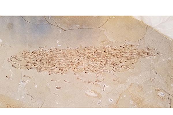 罕見化石瞬間定格編隊遊動的史前魚群