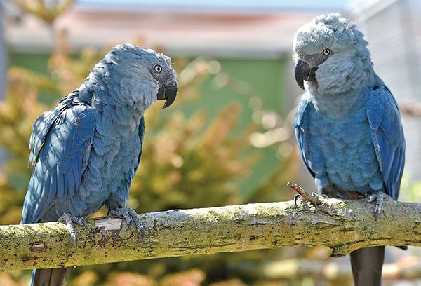 科學家表示,現在的大自然比人類歷史上任何時候都面臨更大的麻煩,超過100萬種植物和動物瀕臨滅絕。圖為斯派克斯金剛鸚鵡(the Spix』s macaw),也是瀕臨絕境的鳥類之一。(Getty Images)