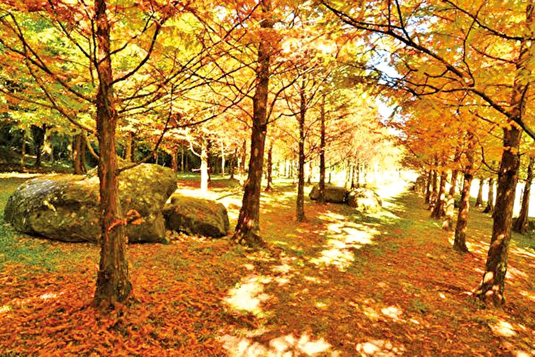每年10至12月是杉林溪森林生態園區賞楓、賞水杉的季節。(杉林溪生態園區提供)