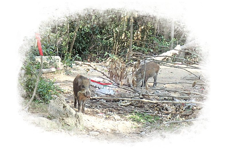 「清徑先鋒」第四分隊在行山執垃圾過程中發現有幾隻野豬正在吃膠袋。