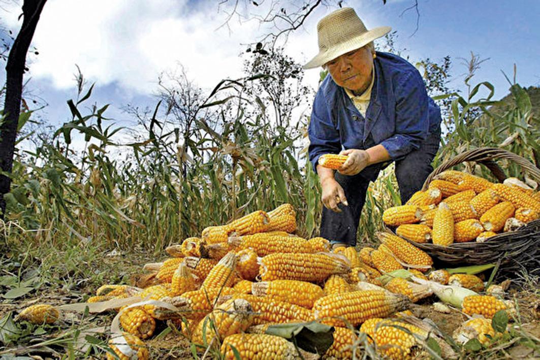 非洲豬瘟引起大陸生豬減少,由於豬飼料需求急劇下降,導致玉米價格暴跌。圖為北京農村的一處玉米田。(FREDERIC BROWN/AFP)