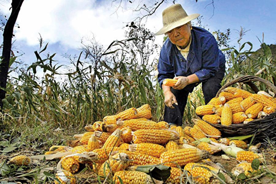 豬瘟效應 豬飼料需求急降 玉米暴跌