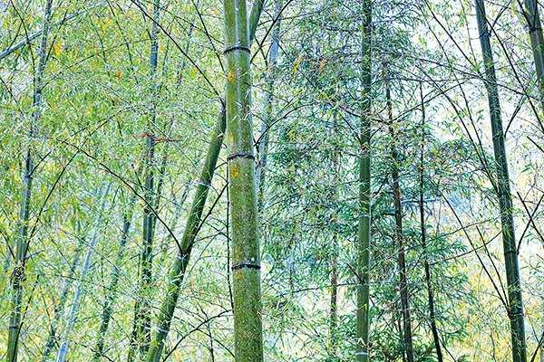 竹林深處有茶鄉