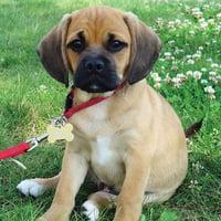 小狗可嗅出糖尿病或可取代血液檢測