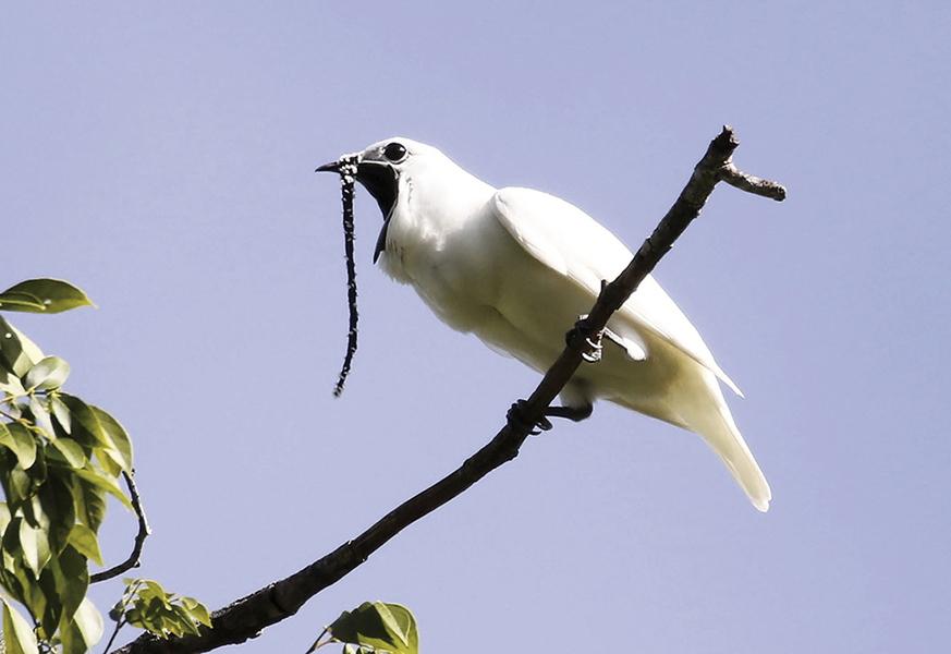 世上最吵的鳥在巴西 叫聲高達125.4分貝