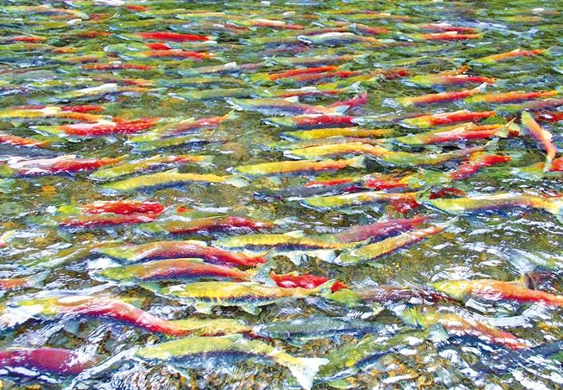 哈里森湖是鮭魚回流的故土。
