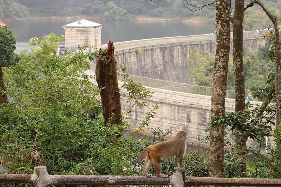 石梨貝水塘、九龍水塘是野生獼猴的棲息地。(陳仲明/大紀元)