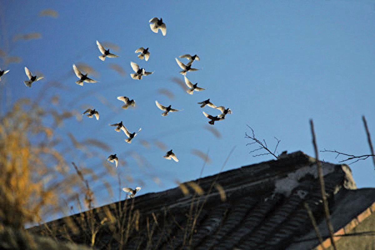 宅院上方的鴿子。(大紀元資料室)