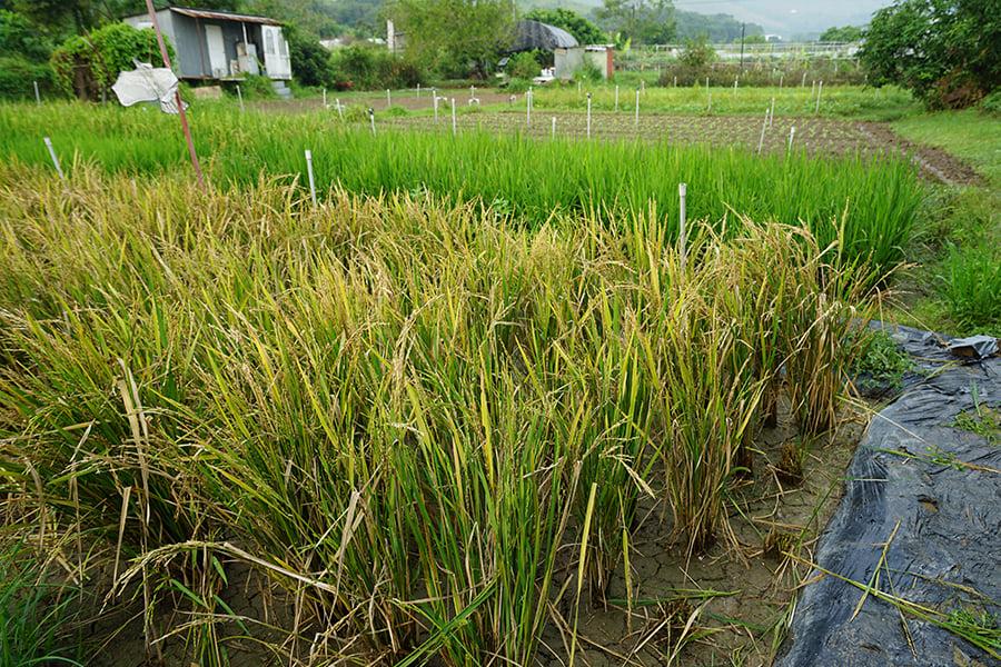 歐羅有機農場產出的水稻。(曾蓮/大紀元)