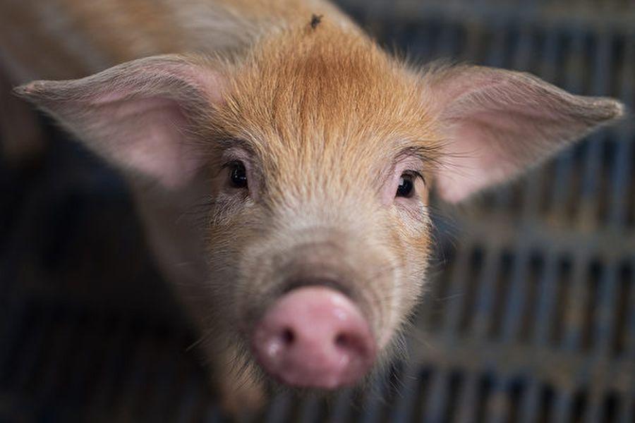 中共科學家以活豬進行車輛撞擊測試,遭動物保護組織抗議。圖為2017年6月5日,北京郊區一處農場的豬隻。(NICOLAS ASFOURI/AFP)