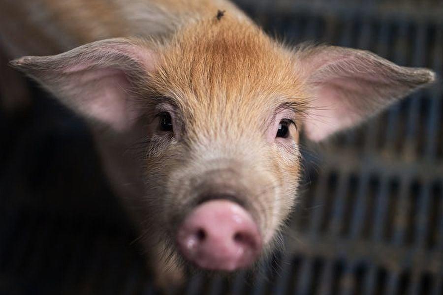 以活豬做致命撞擊測試 中共科學家遭抗議
