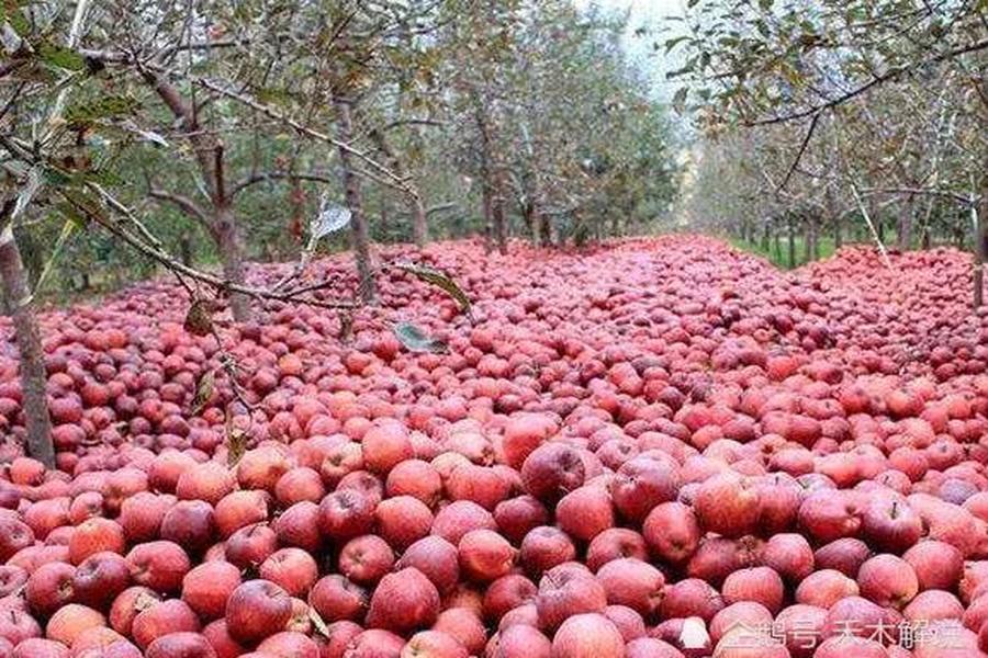 年關將近,辛苦一年的果農好不容易盼到收穫的季節,希望好的收成能換來好的收入,過個好年。沒想到的是,今年水果大豐收帶來的卻是虧本災難。更奇葩的是,果農水果虧本還賣不出去,而城市超市裏的水果價格貴,市民吃不起。這到底是甚麼原因呢?(網絡)
