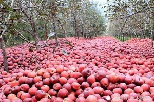 大陸水果豐收 果農賣不掉 市民吃不起