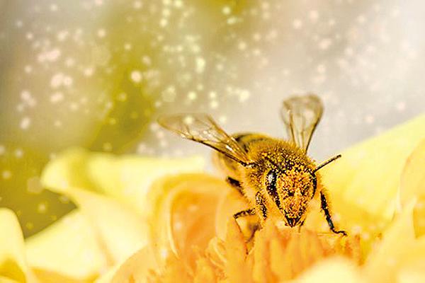 文成公主喜歡用一種香,香味獨特,而剛好蜜蜂也喜歡這種香味。(Pixabay)