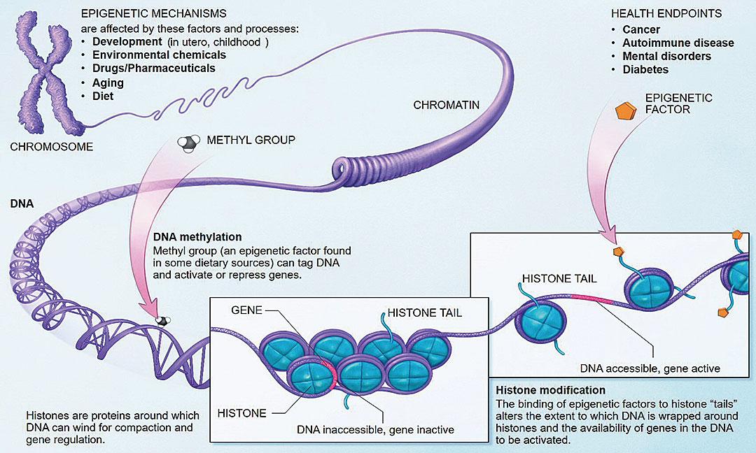 圖中紫色長鏈是DNA。藍色的Histone是蛋白分子,DNA鏈纏繞在這些分子上。圖内有兩個方框,左側的方框中,基因排列非常密集,就無法表達。右側的排列比較鬆散,就能夠表達。表徵遺傳學示意圖。(維基百科)