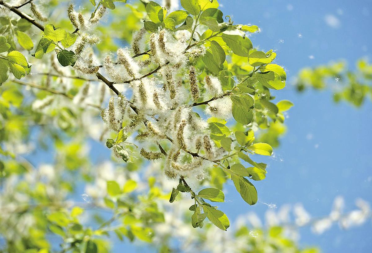 白楊樹開花(公有領域)