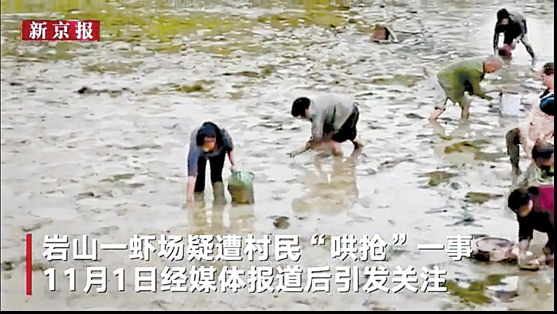 湖南大學生劉正軒畢業後回老家創業養蝦,收穫季節遭村民哄搶。圖為哄搶場面。(視頻截圖)