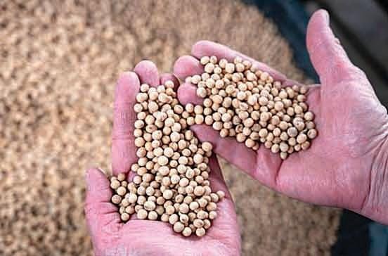 美國內布拉斯加州出產的大豆。(AFP/Getty Images)