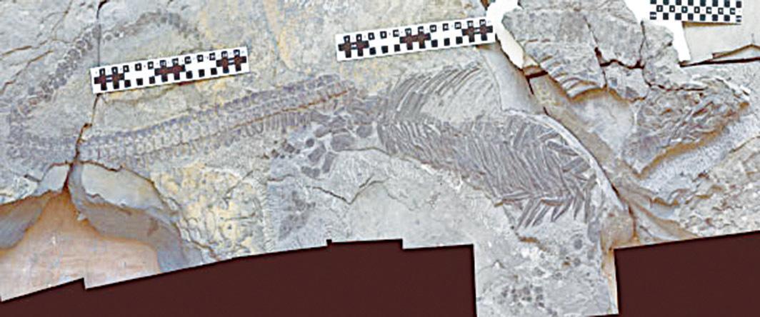 2.4億年前奇異濾齒龍(Sclerocormus parviceps)化石。