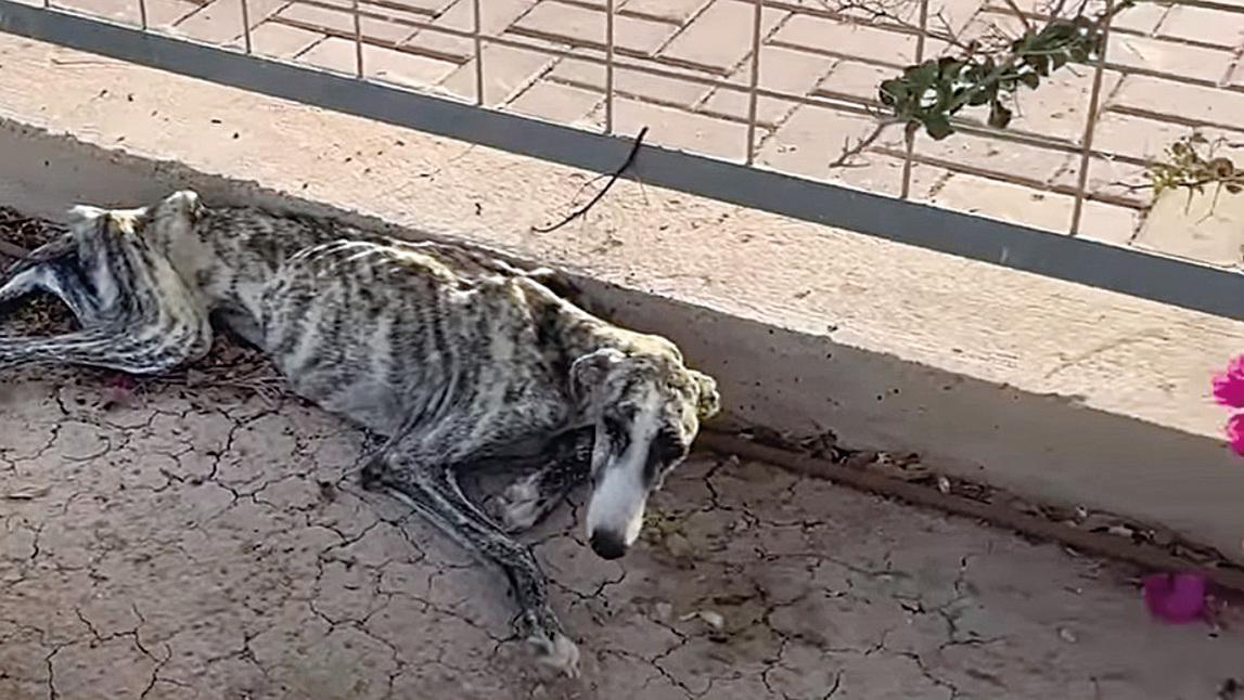 路邊躺著一隻瘦得皮包骨的狗狗,叫聲非常慘烈。(the Dodo 影片截圖)