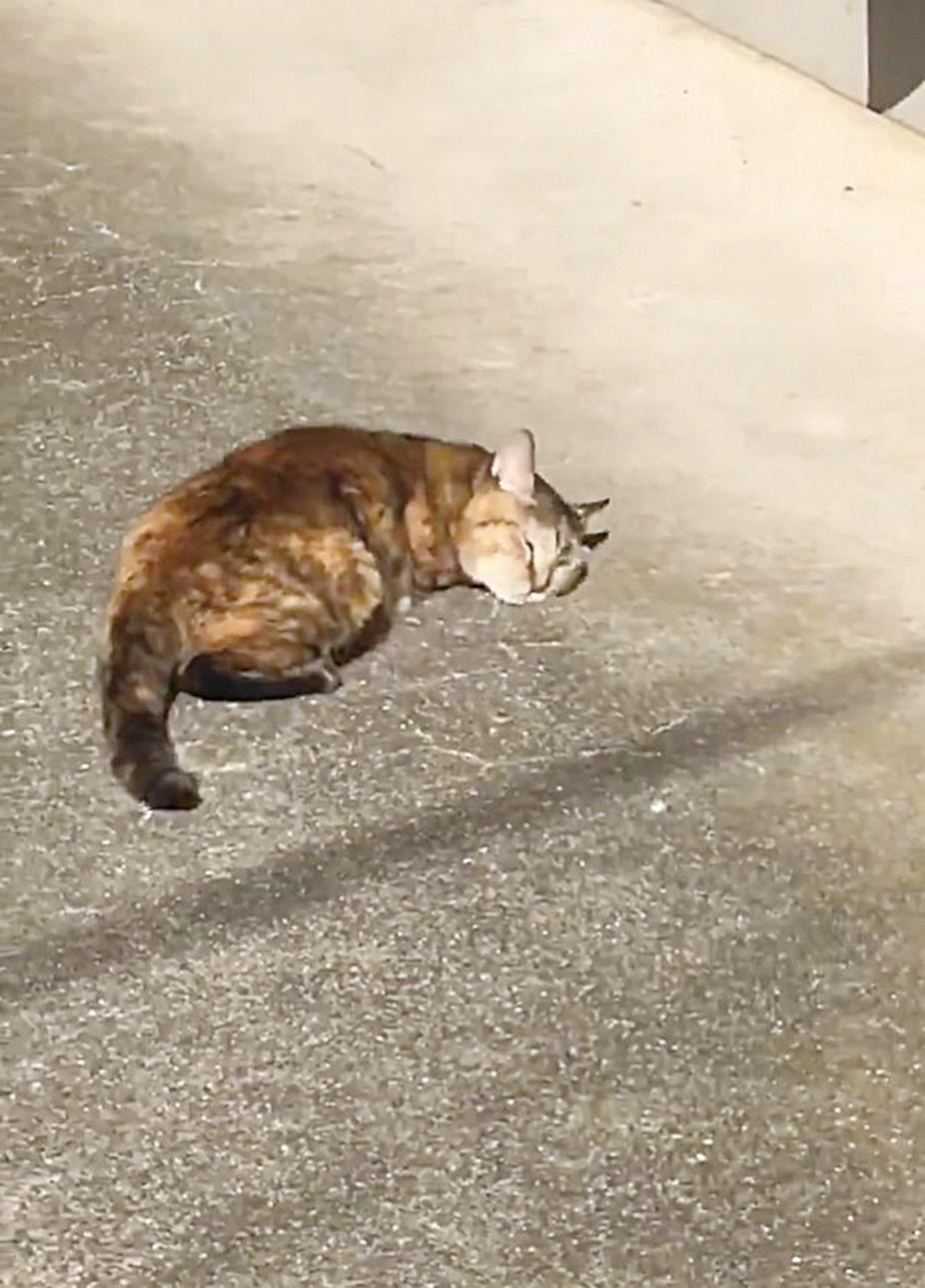 日本網友soshikihakase帶貓貓曬太陽,貓貓陶醉在溫暖的陽光下,忘情地在地上翻滾、翻滾再翻滾,連續翻滾了超過20秒的時間,那副興奮又自在的樣子融化了眾多網友的心。(@soshikihakase /Twitter)