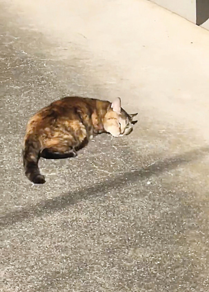 貓貓曬太陽興奮翻滾二十秒 網友被牠融化了