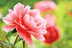 牡丹花 卓然風骨洛陽花