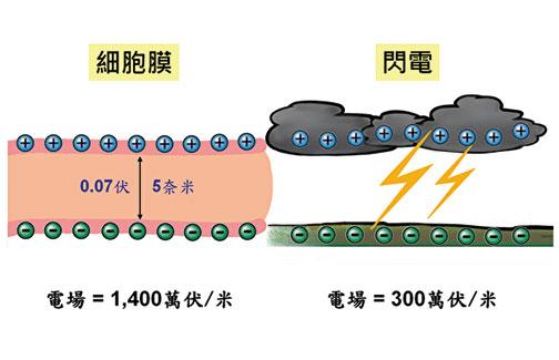 細胞膜電場 vs. 閃電電場。(家邑繪/大紀元)