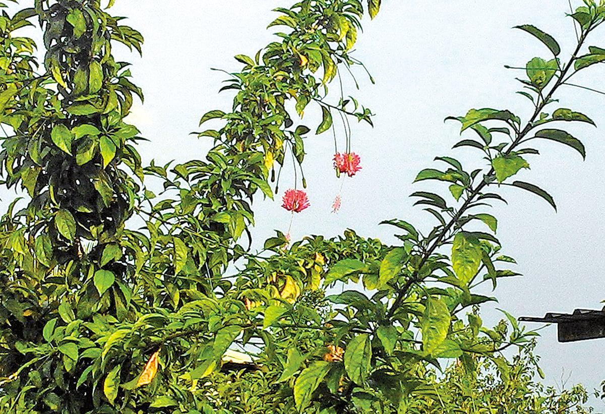 一盞盞垂掛的華麗紅粉燈籠,花姿纖細嬌俏,吊燈扶桑花在綠葉襯托下顯得飄逸動人。 (曾晏均/大紀元)