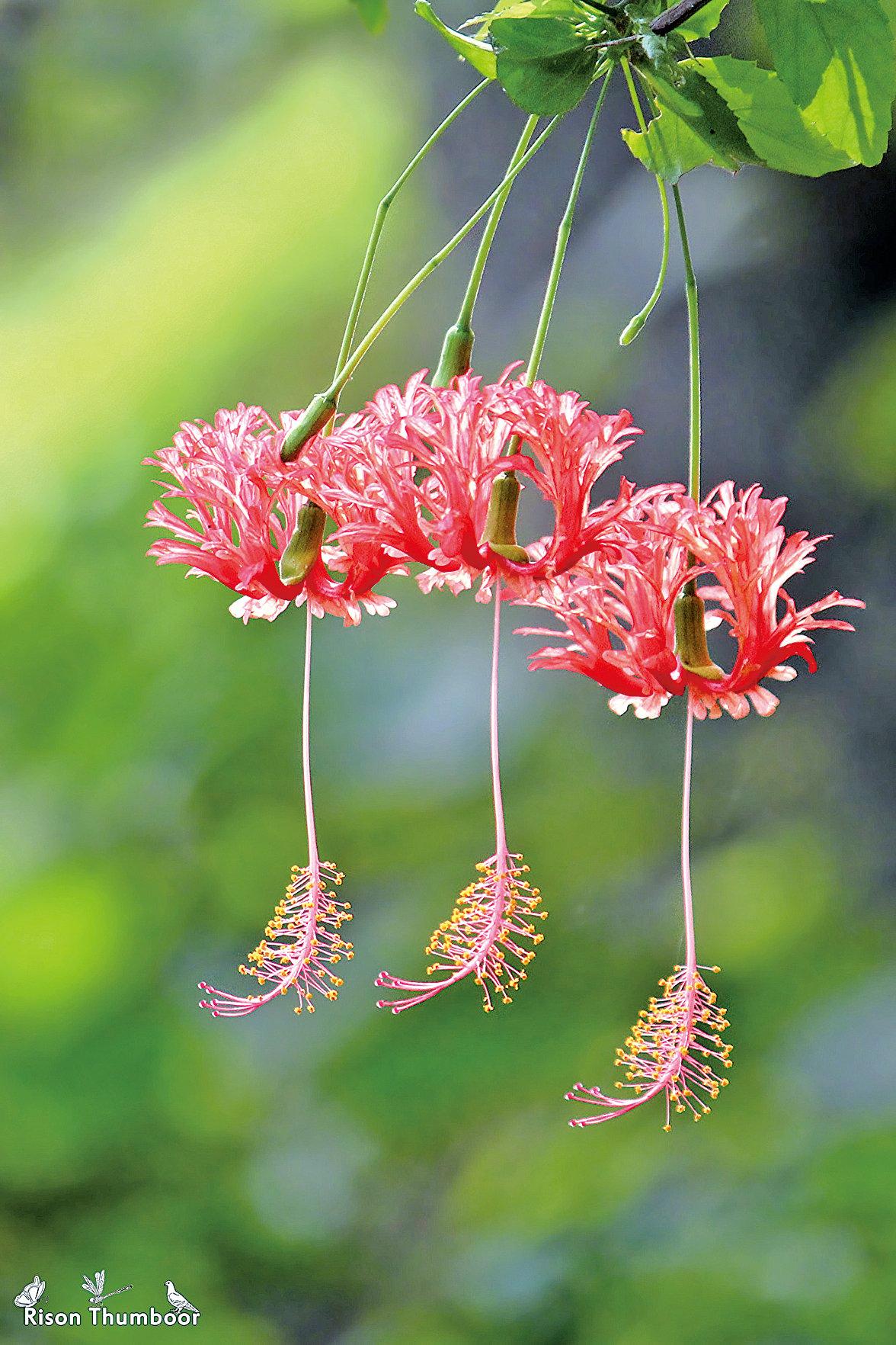 「吊燈扶桑」,別名裂瓣朱槿、珊瑚扶桑、燈籠花、吊燈花。 (Rison Thumboor/Wikimedia Commons)