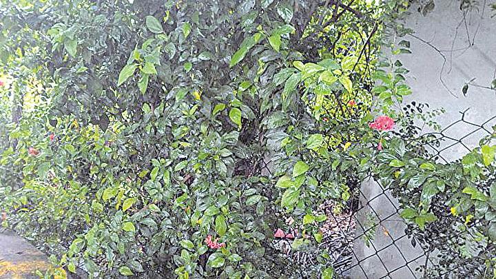 吊燈花適合密植當做綠籬圍牆(曾晏均/大紀元)