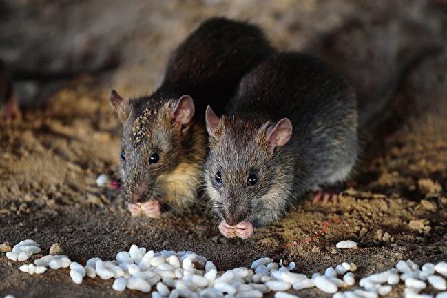 中國大陸這次鼠疫的首發地內蒙古錫林郭勒盟的村民表示,老鼠在當地早已氾濫成災。示意圖。(Sanjay Kanojia/AFP via Getty Images)
