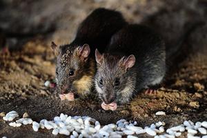 內蒙鼠疫爆發地  八、九月已老鼠成災