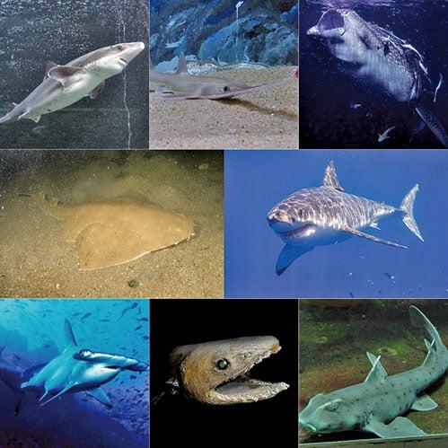 不同鯊魚種類示意圖。(維基百科)