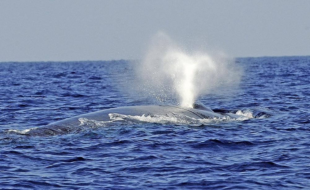 美國科學家最近首次記錄到藍鯨的心跳。圖為2009年3月26日,斯里蘭卡外海的一條藍鯨。(AFP/Getty Images)