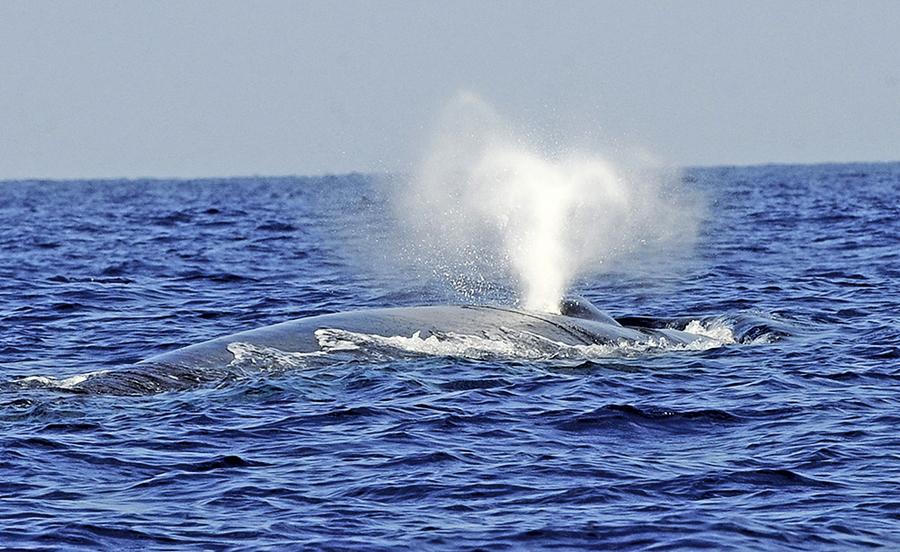 研究首次記錄到藍鯨的心跳
