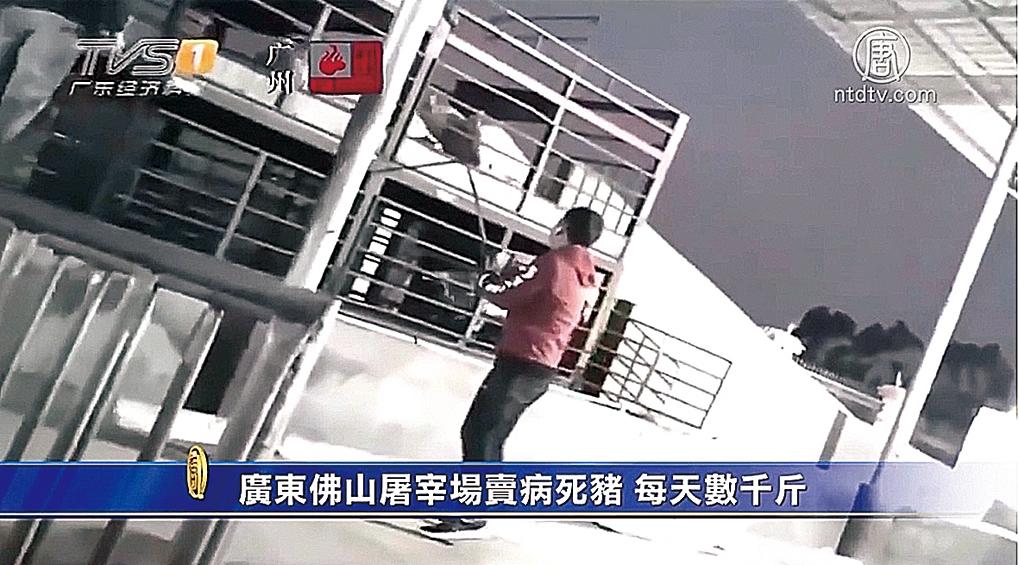 廣東佛山一正規屠宰場賣病死豬。(影片截圖)