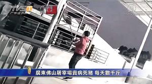 佛山屠宰場賣病死豬 每天數千斤