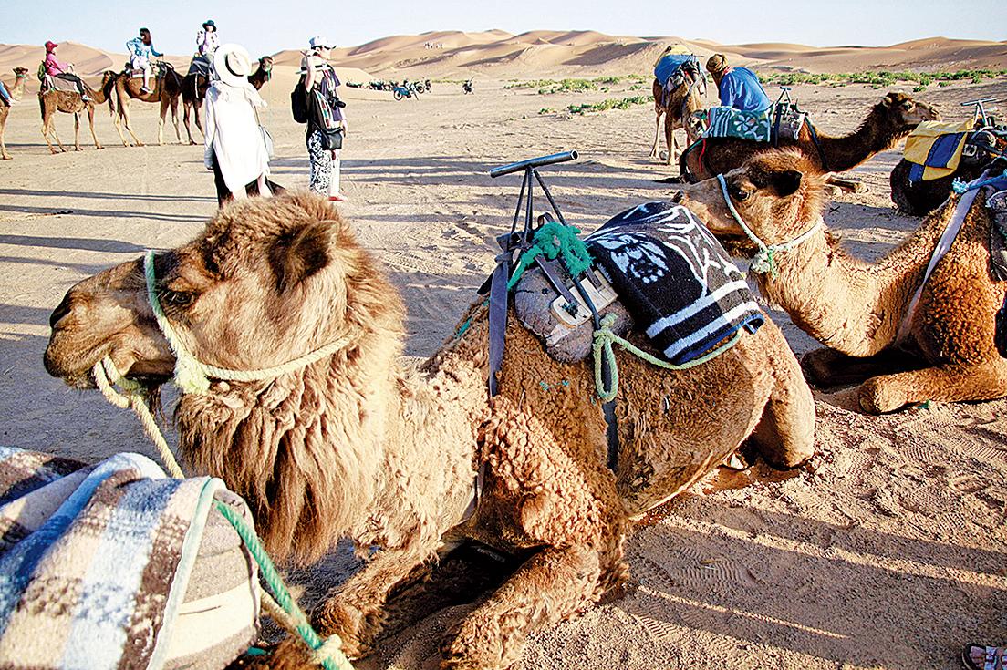 撒哈拉沙漠的慵懶駱駝。