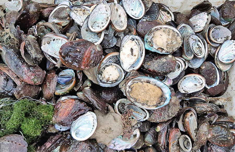 分析:大陸鮑魚為何賣出白菜價