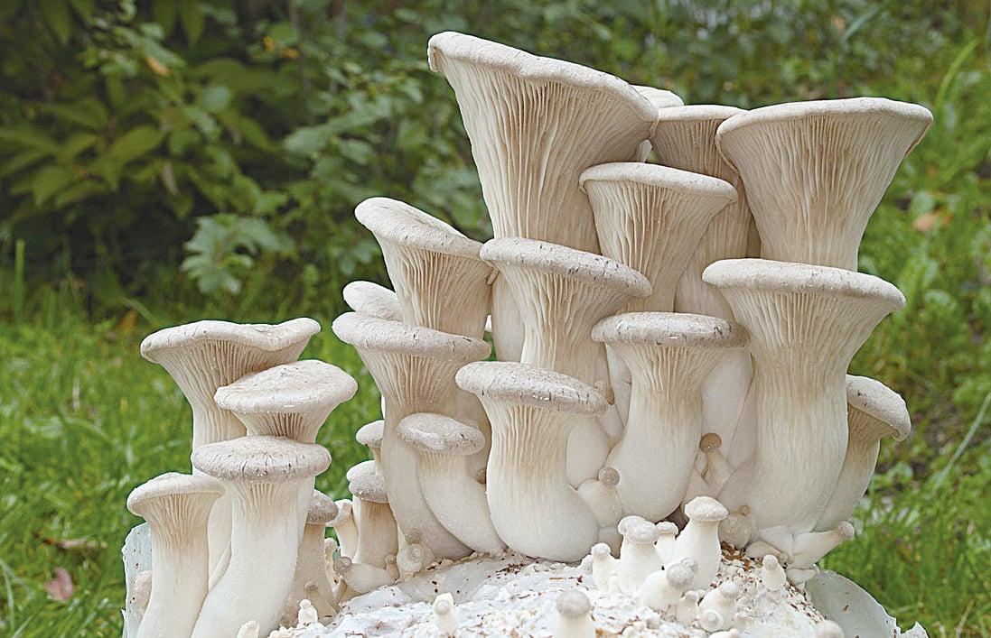 杏鮑菇含人體必需8種胺基酸和菇類多醣體,是營養價值極高的食用菌。(Wikimedia Commons)