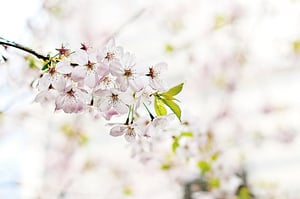 門前一樹馬纓花