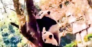 綿陽4.6級地震  熊貓嚇到瞬間上樹