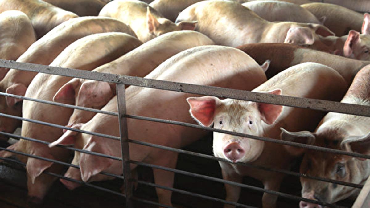 中國家豬非洲豬瘟疫情今年再次爆發,官方隱瞞不報,卻通報了3只野豬感染非洲豬瘟(示意圖)。(Scott Olson/Getty Images)