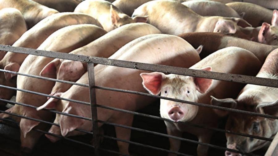 中國非洲豬瘟出現「新疫情」 野豬也感染亡
