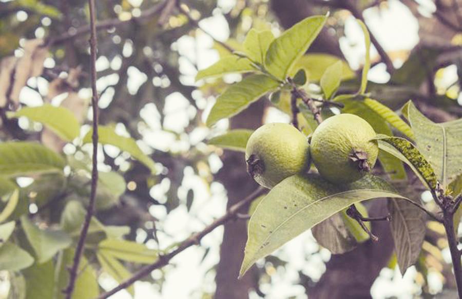 最強抗氧化水果番石榴 吃一顆清除十八根香腸的亞硝酸鹽